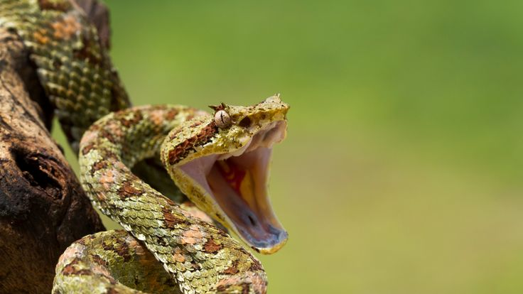 An eyelash viper, found in Central and South America, coils to strike