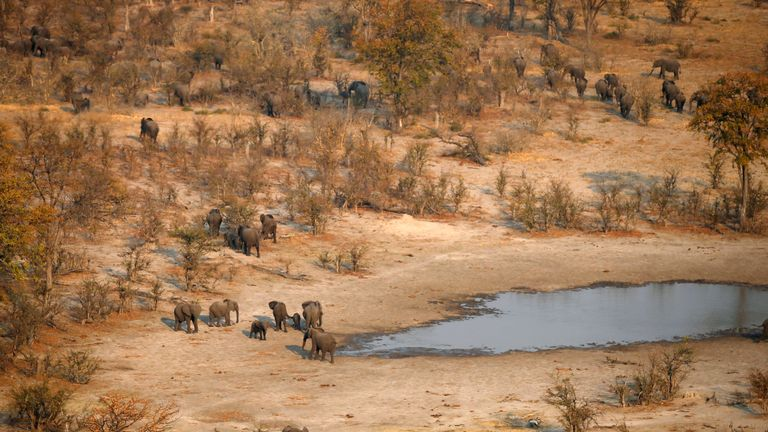 A herd of elephants leaves a drinking spot in the Mababe area, Botswana, September 19, 2018. REUTERS/Siphiwe Sibeko