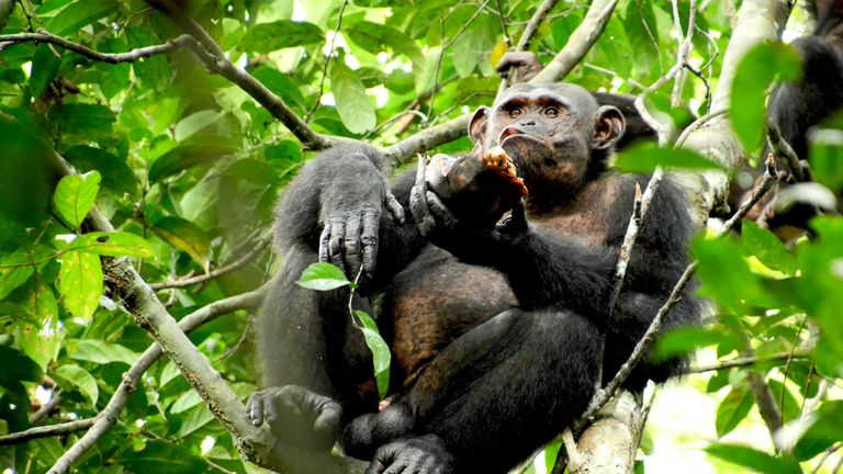 Preying on Tortoises shows chimps' intelligence, scientists say. Pic: SWNS