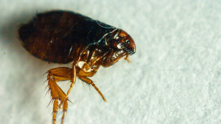 The fleas have been nibbling at staff at the police station. File pic