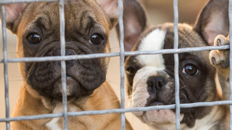 Puppy farms and puppy smugglers will be targeted in a new government crackdown