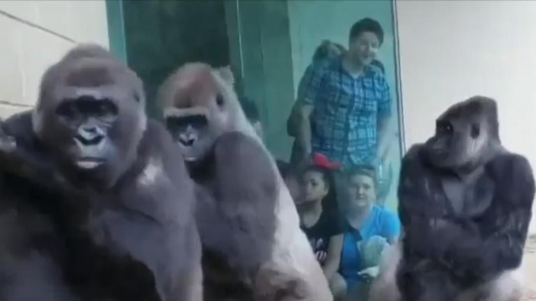 Gorillas avoid pouring rain as they file back inside