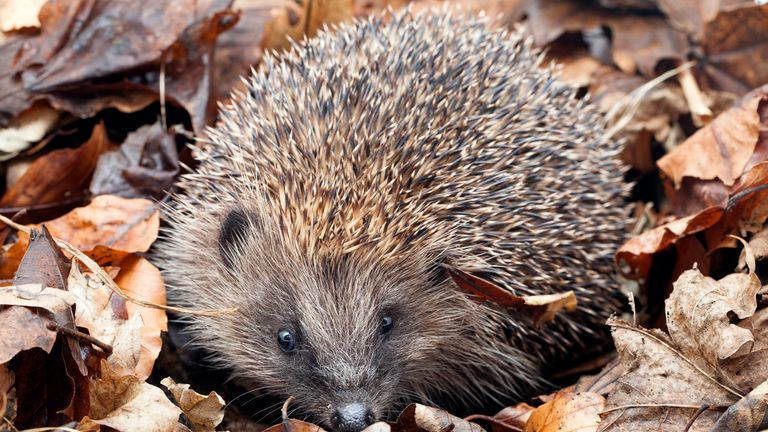 More than half of rural hedgehogs and a third from towns and cities have been lost since 2008, it is estimated
