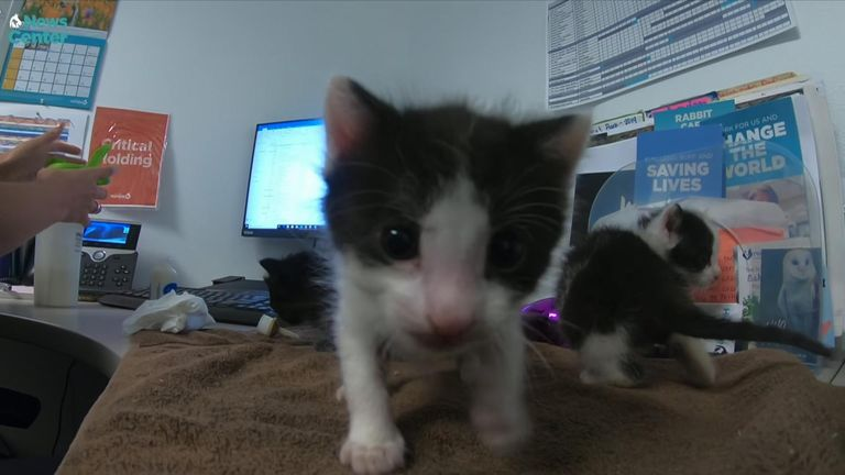 The kittens will be offered for adoption in four weeks' time. Pic: San Diego Humane Society