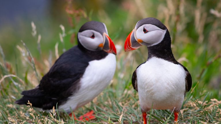 Puffins are globally listed as vulnerable to extinction