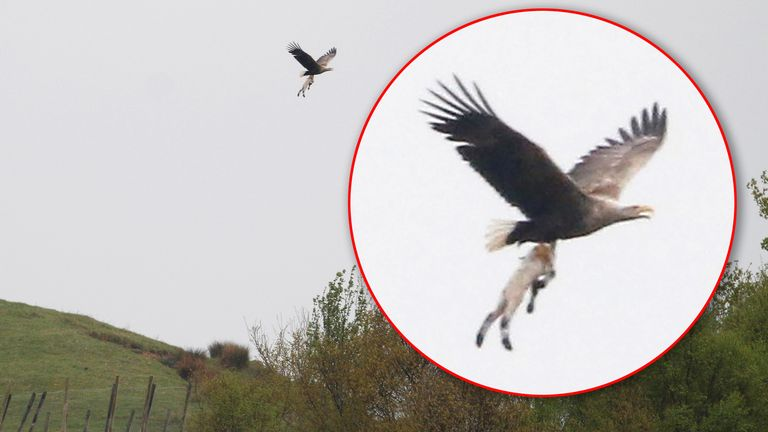 A sea eagle carrying off a lamb it is believed to have seized from a nearby field. Pic: Deadline News