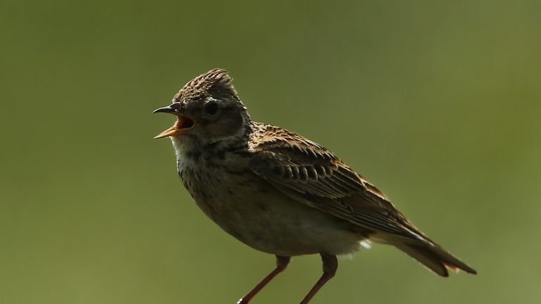 The UK population of these small, brown birds halved in in 1990s