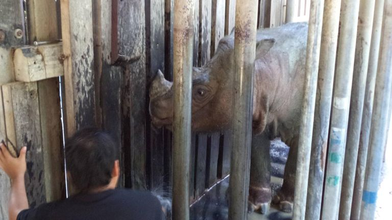 Tam the Sumatran rhino