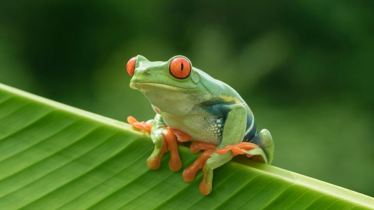 There are over 800 species of tree frog, including this red-eyed one