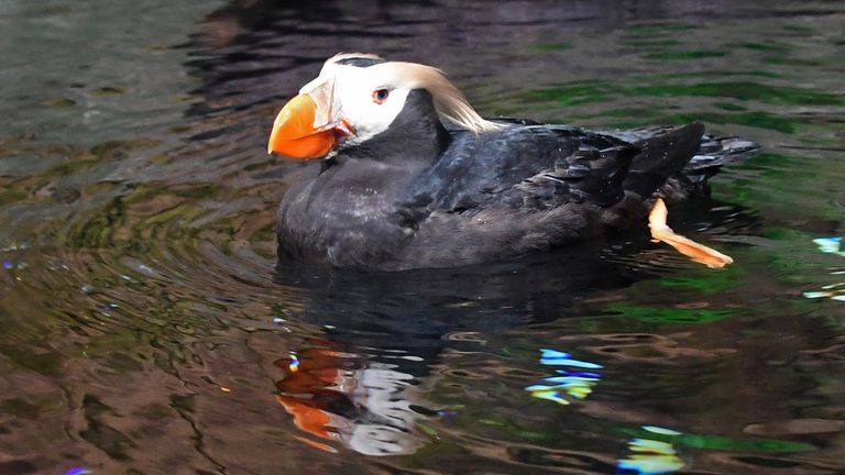 The tufted puffins are believed to have starved to death and had molted their feathers