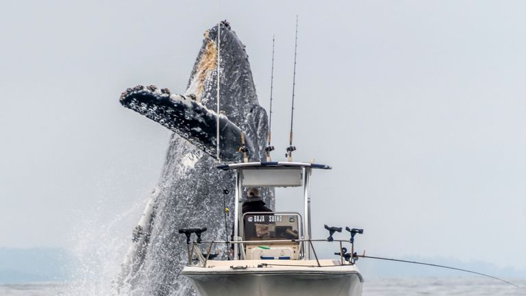 A whale breaching very close to a fisherman's boat on Monterey Bay, California. Pic: Douglas Croft/Caters News