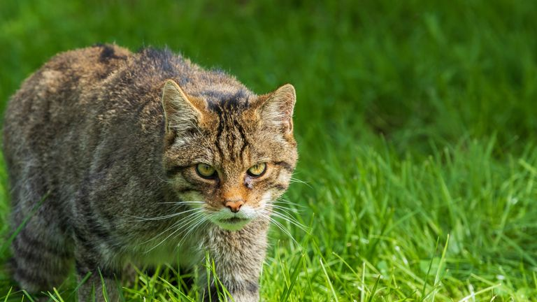 There are thought be around 200 Scottish Wildcats left, located in the Scottish Highlands