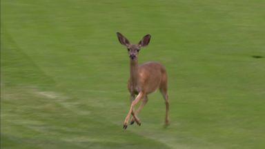 Deer damages green at Pebble!