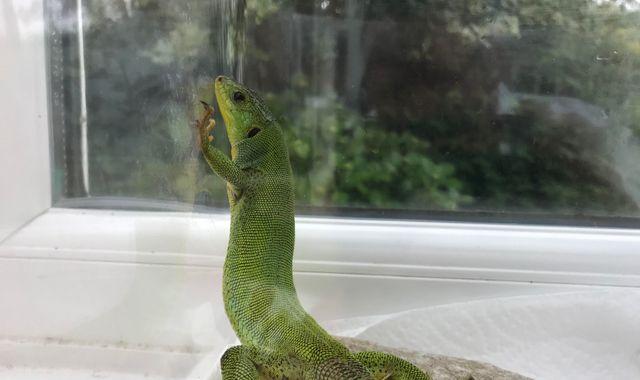 Stowaway lizard travels from Kos to Bridgend in holidaymaker's suitcase