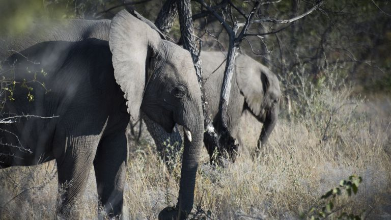 Elephants are pictured, on May 9, 2015 at Halali in Etosha park. AFP PHOTO / MARTIN BUREAU        (Photo credit should read MARTIN BUREAU/AFP/Getty Images)