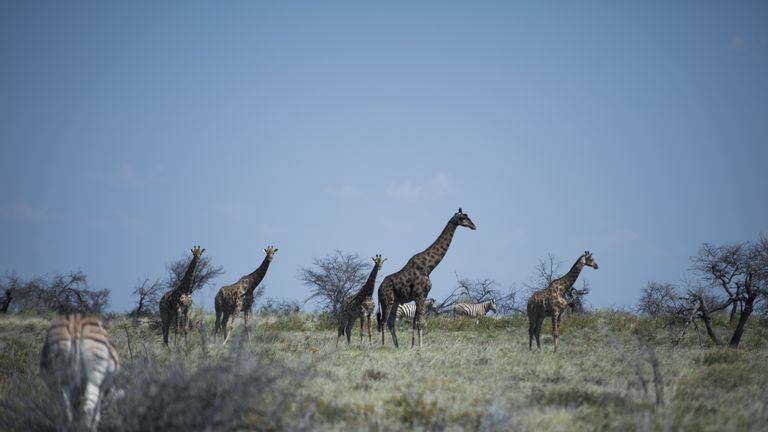 Giraffes among zebras are pictured, on May 9, 2015 at Halali in Etosha park. AFP PHOTO / MARTIN BUREAU        (Photo credit should read MARTIN BUREAU/AFP/Getty Images)