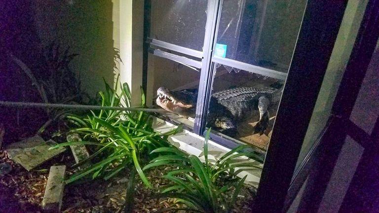 Alligator found in Florida home
