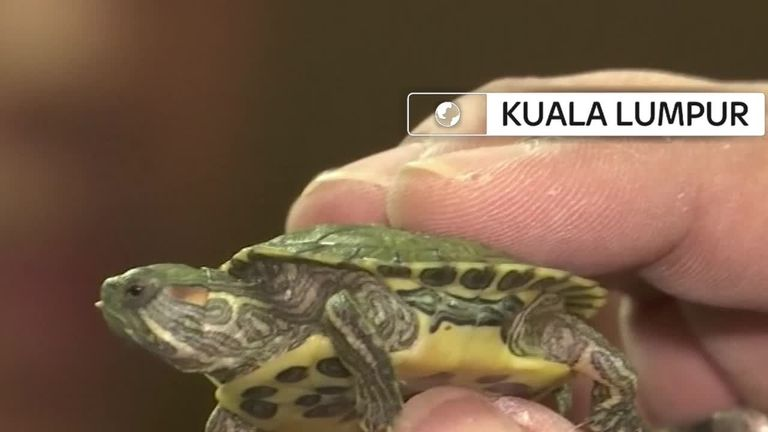 Over 5,000 baby turtles were seized at Kuala Lumpur airport