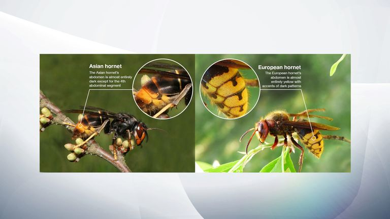 There were nine confirmed sightings of Asian Hornets in the UK last year