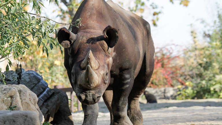 Manny is one of the five critically-endangered black rhinos moved to Akagera National Park. Pic: African Parks