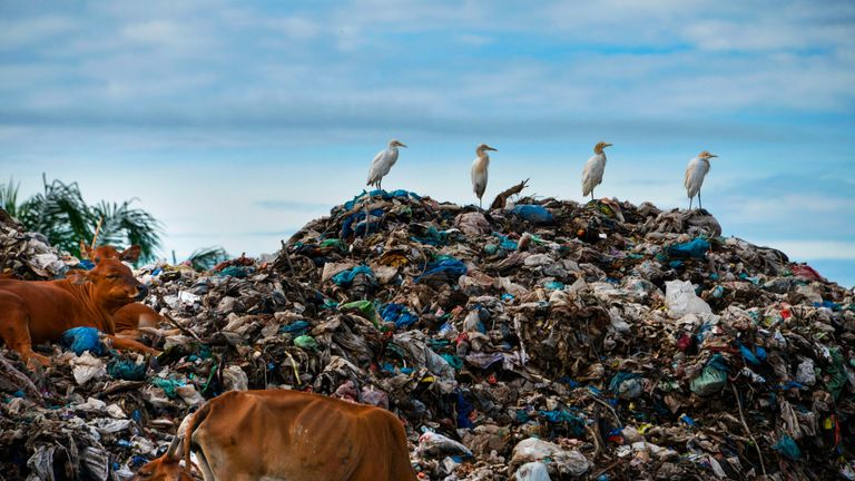 Egrets sit with cows on the top a rubbish pile at a waste dump in Meulaboh, Aceh province