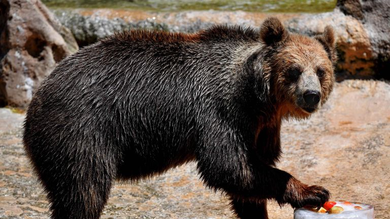 A bear eats iced fruits to cool off at the Rome zoo