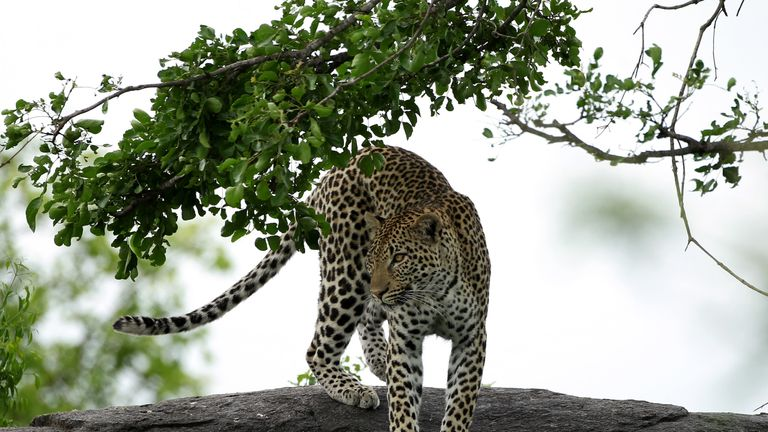 Park rangers set out to find the leopard, before shooting and killing it