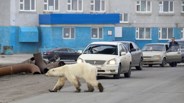 A stray polar bear is seen in the industrial city of Norilsk, Russia