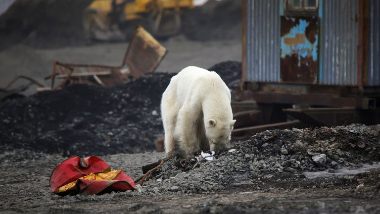The bear occasionally rose to sniff around the Siberian city