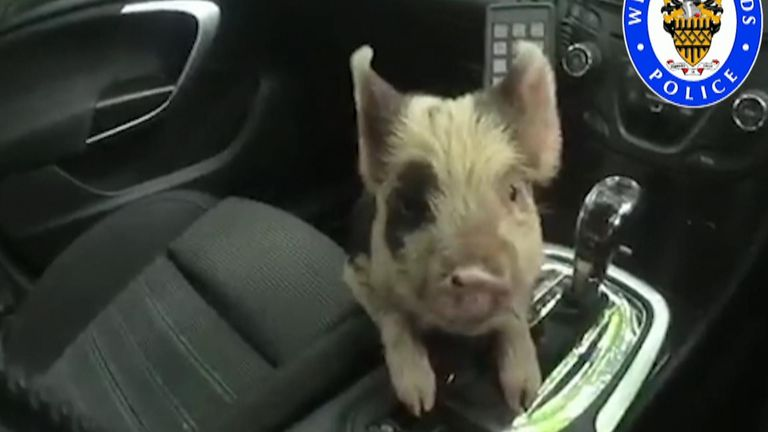 Police officers in Coventry made a different kind of capture as they helped rescue a piglet from a busy road.