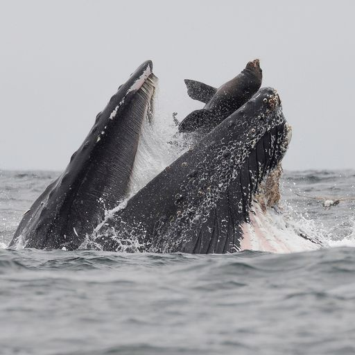 Sea lion swallowed whole by humpback whale