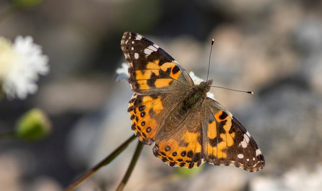 Millions of butterflies flying to UK in 'once-in-a-decade' phenomenon