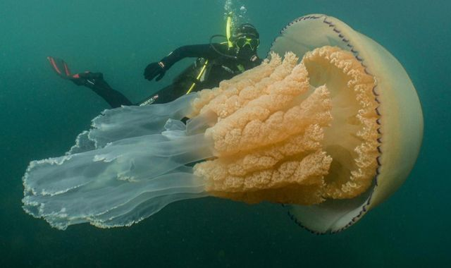 Giant jellyfish spotted off coast of Cornwall is 'not a monster from the deep'