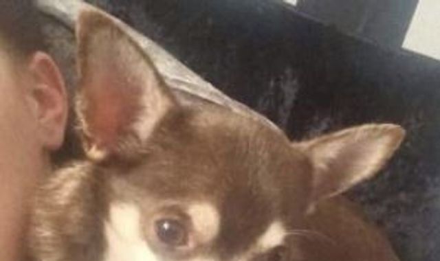 Devon girl 'really upset' after seagull snatches Gizmo the chihuahua from garden