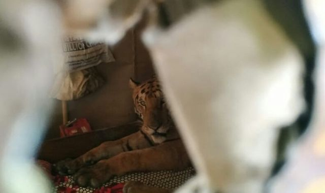 India floods: Tiger sneaks into home for catnap to escape flooding
