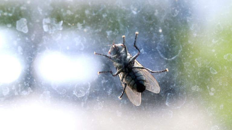 House fly on the windshield dirty, Chrysomya megacephala (Fabricius), Musca domestica, fly contagious diseases