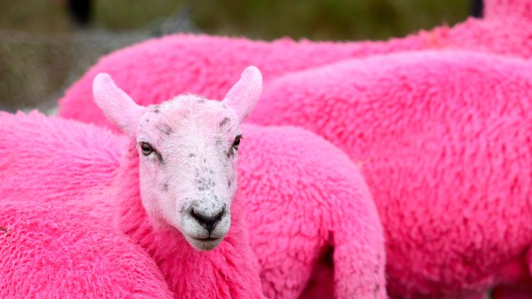 SOUTHWOLD, ENGLAND - JULY 14:  The Latitude Festival pink sheep at Day 2 of Latitude Festival at Henham Park Estate on July 14, 2017 in Southwold, England.  (Photo by Dave J Hogan/Dave J Hogan/Getty Images)
