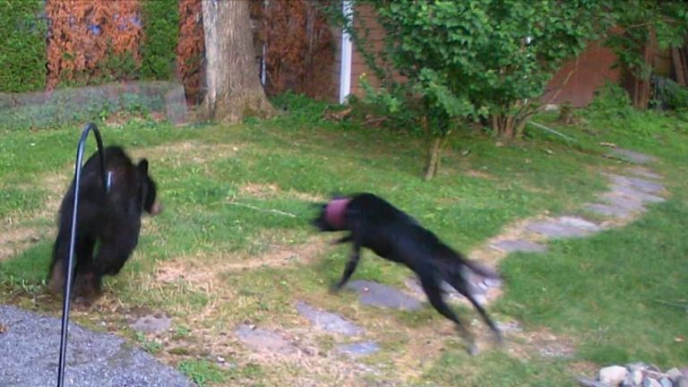 Black bear is chased from garden by dog half its size
