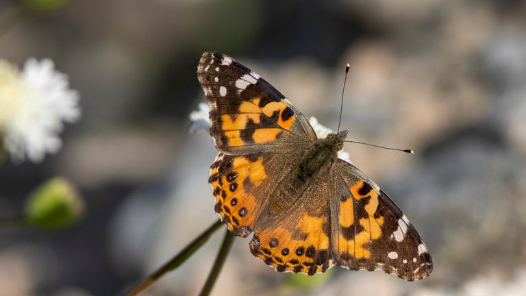 THOUSAND PALMS, CA - MARCH 09: Painted lady butterflies pause to feed on the nectar of California's second 'super bloom' in two years during a rare mass migration triggered by recent abundant rainfall on March 9, 2019 near Thousand Palms, California. (Photo by David McNew/Getty Images).