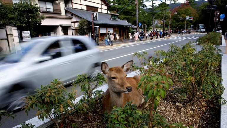 A deer sits on a grass road divider in Nara, Japan