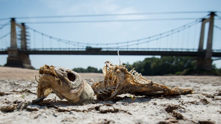 A fishbone lies on a dry part of the bed of the River Loire at Montjean-sur-Loire, western France on July 24, 2019, as drought conditions prevail over much of western Europe