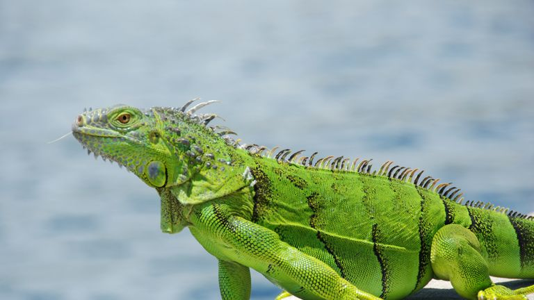 Green Iguanas can grow to as big as 5ft (1.52m) in length and weigh 17 pounds