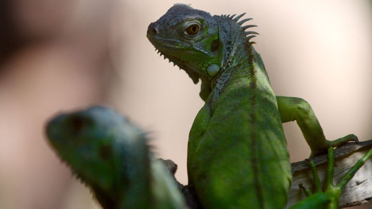 Female Iguanas can lay as many as 76 eggs a year. File pic