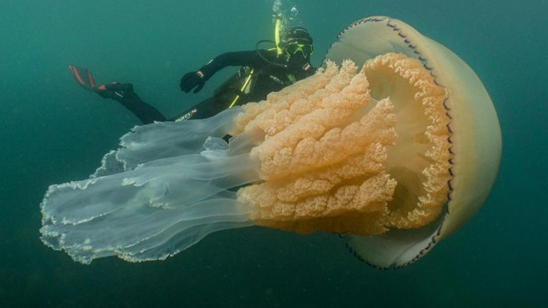 The jellyfish is one of the biggest ever spotted in the UK. Pic: Dan Abbott