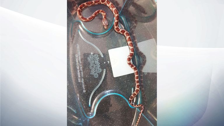 The snake was abandoned on the side in a plastic takeaway tub. Pic: RSPCA