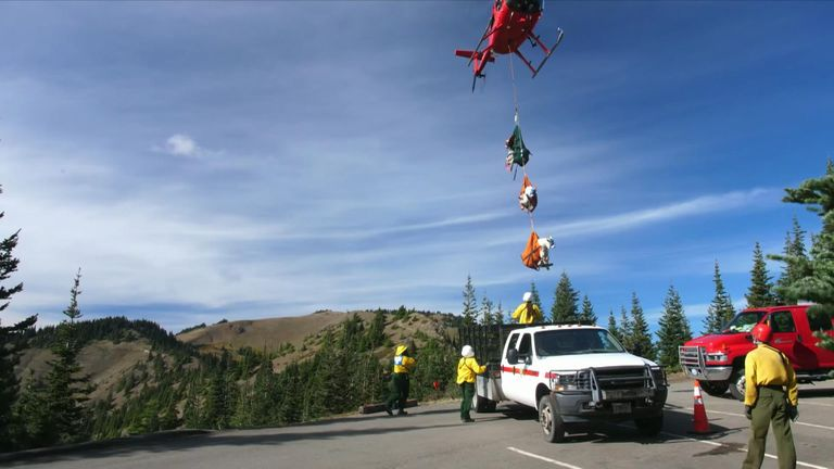 The goats are being dangled from a helicopter in specially-made slings. Pic: Olympic National Park