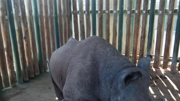 A black rhino that was shot in the foot by poachers is being treated by Kruger National Park rangers, desperate to save her life.