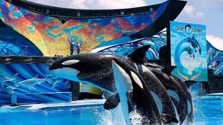 SeaWorld announced in 2016 that it would end its orca breeding program. Pic: SeaWorld