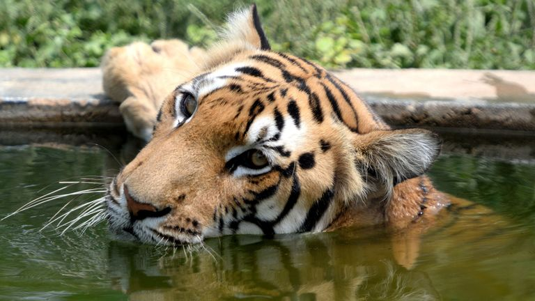 A Bengal tiger rests in water at its enclosure at the Arignar Anna Zoological Park in Chennai on July 24, 2018