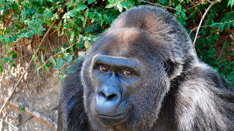 Trudy the Gorilla has died